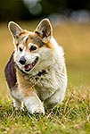 Welsh Cattle Dog, Corgi, herding