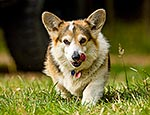Welsh Cattle Dog, Corgi
