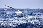 Northen Royal Albatross