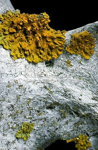 Bright yellow lichen growing on an old cattle vertebra, Taihape, New Zealand (NZ) stock photo.