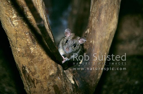 Ship Rat (Rattus rattus) on tree trunk, Waikanae, New Zealand (NZ) stock photo.