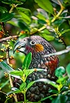 Kaka bird eating coprosma fruit