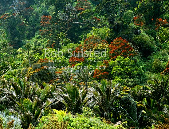 Southern Rata trees flowering (Metrosideros umbellata) and Nikau Palm forest on the Heaphy track, Kahurangi National Park, Buller District, West Coast Region, New Zealand (NZ) stock photo.