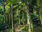 Nikau palms on the Heaphy Track