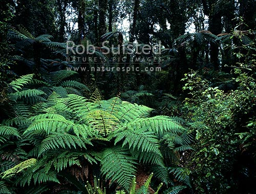 Rain forest interior with tree ferns- South Westland, South Westland, Westland District, West Coast Region, New Zealand (NZ) stock photo.