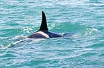 Orca killer whale close up