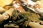 Close up NZ freshwater crayfish