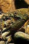 Native freshwater crayfish
