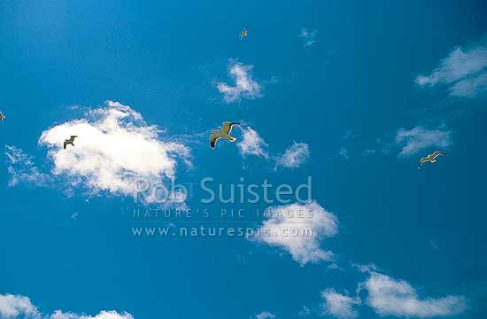 Black backed gulls (Larsus dominicanus) flying above Somes/Matiu Island, Wellington, Wellington City District, Wellington Region, New Zealand (NZ) stock photo.