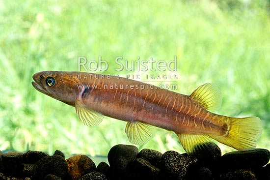 Native Banded Kokopu (Galaxis fasciatus); 1 of the 6 adult whitebait species, Taranaki, New Zealand (NZ) stock photo.