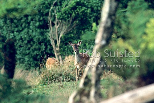 Wild Fallow deer does feeding in open country (Cervus dama), Wanganui, Wanganui District, Manawatu-Wanganui Region, New Zealand (NZ) stock photo.