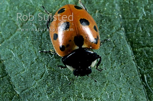 Eleven spotted Ladybird insect (Coccinella undecimpuntata), Wellington, New Zealand (NZ) stock photo.