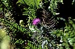 Scotch thistle - weed