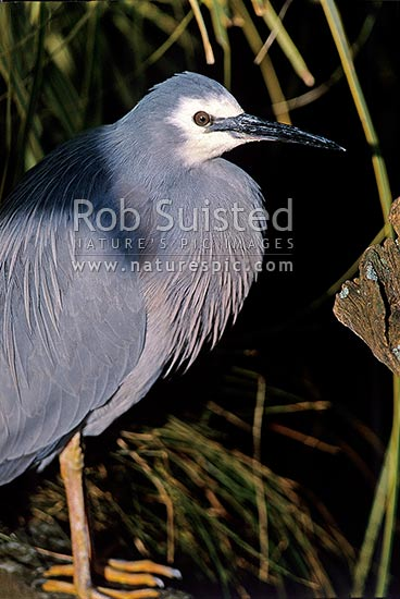 NZ Native White faced heron (Ardea novaehollandiae) in bushes, Waikanae, Kapiti Coast District, Wellington Region, New Zealand (NZ) stock photo.