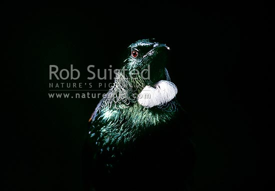 Tui bird in bright sunlight (Prosthemadera novaeseelandiae), New Zealand (NZ) stock photo.