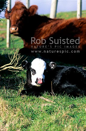Calf and cow, New Zealand (NZ) stock photo.