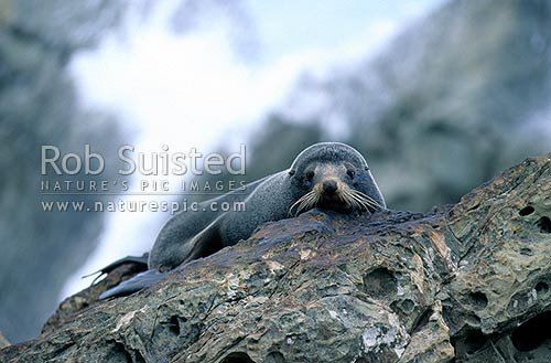 Native New Zealand Fur seal (Arctocephalus forsteri, Otariidae) lying on rock, Kaikoura, Kaikoura District, Canterbury Region, New Zealand (NZ) stock photo.