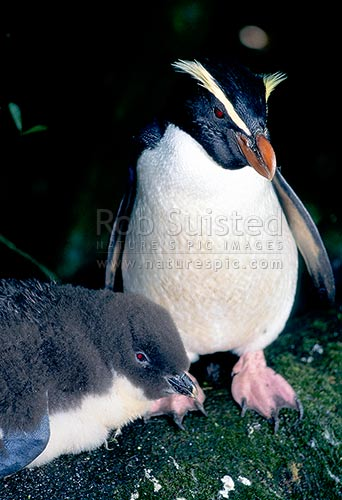 Fiordland crested penguin (Eudyptes pachyrhynchus) - Adult and chick, late October, spring, South Westland, Westland District, New Zealand (NZ) stock photo.