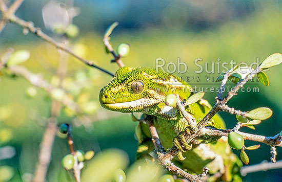 Native Jewelled Gecko (Naultinus gemmeus), Otago, New Zealand (NZ) stock photo.