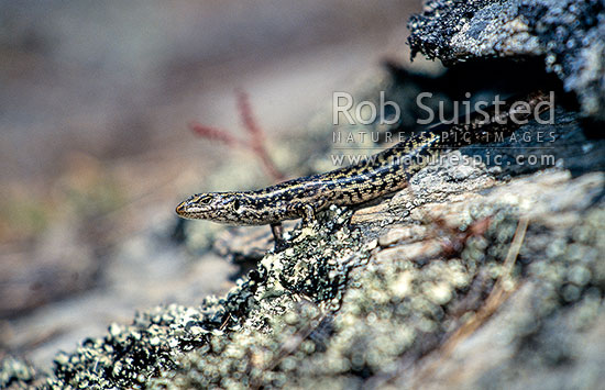 Endangered native Grand Skink (Oligosoma grande), Macraes Flat, Otago, New Zealand (NZ) stock photo.