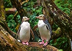 Yellow-eyed penguins in tree