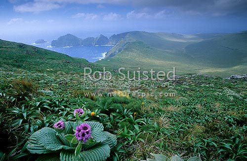 Megaherb daisy, Pleurophyllum speciosum (pink), and Bulbinella rossi on Mount (Mt) Azimuth, Campbell Island, NZ Sub Antarctic District, NZ Sub Antarctic Region, New Zealand (NZ) stock photo.