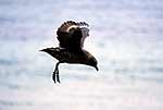 Skua bird flying