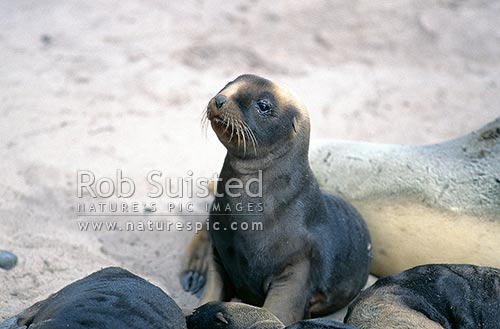 Hooker's sea lion (Phocartos hookeri) pup - 2 weeks old, Sandy Bay, Enderby Island, Auckland Islands, NZ Sub Antarctic District, NZ Sub Antarctic Region, New Zealand (NZ) stock photo.
