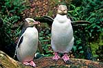 Native Yellow eyed penguin