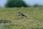 Auckland Is. banded dotterel