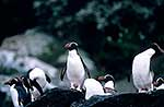 Snares crested penguins