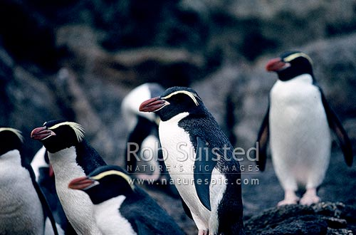 Group of Snares crested penguins (Eudyptes robustus). Snares Island. Natives, The Snares Islands, NZ Sub Antarctic District, NZ Sub Antarctic Region, New Zealand (NZ) stock photo.