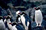 Snares crested penguins climbing