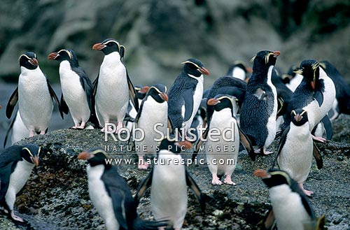Snares crested penguins (Eudyptes robustus), gathered on a rock, Snares Island. Native, The Snares Islands, NZ Sub Antarctic District, NZ Sub Antarctic Region, New Zealand (NZ) stock photo.